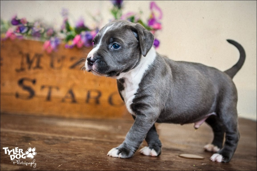 Samuel the Pit Bull photographed by Sherry Stinson, TylerDog Photography